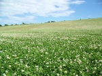 Field_of_clover_near_Upwey_-_geograph.org.uk_-_1360802