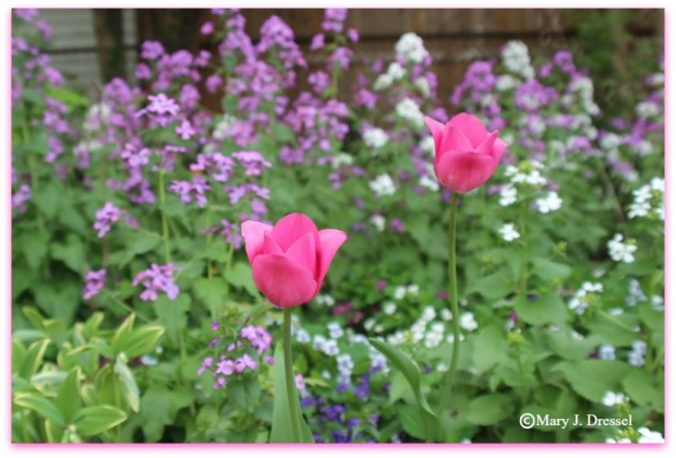 wild flowers blurred in background, two pink tulips standing tall focused in forefront, Mary J McCoy-Dressel, blog post, Double Trouble Wordless Wednesday