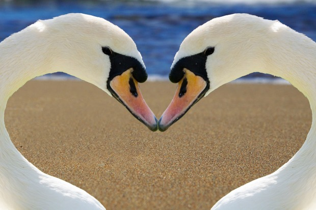 white swans, lake, necks creating a heart shape, Mary J McCoy-Dressel, 52-week blog challenge post