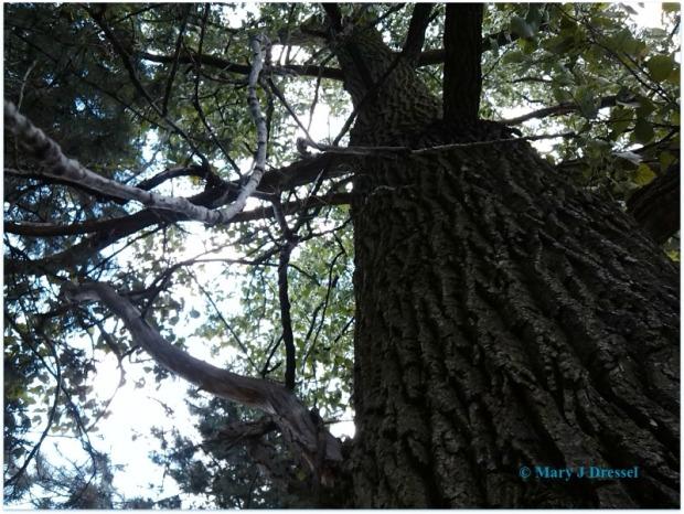 Mary J McCoy-Dressel, Stately tree blog post ##WordlessWednesday