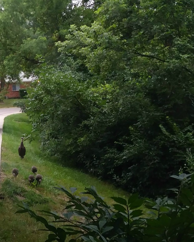 Mother turkey with 4 babies, front yard, trees, Mary J McCoy-Dressel