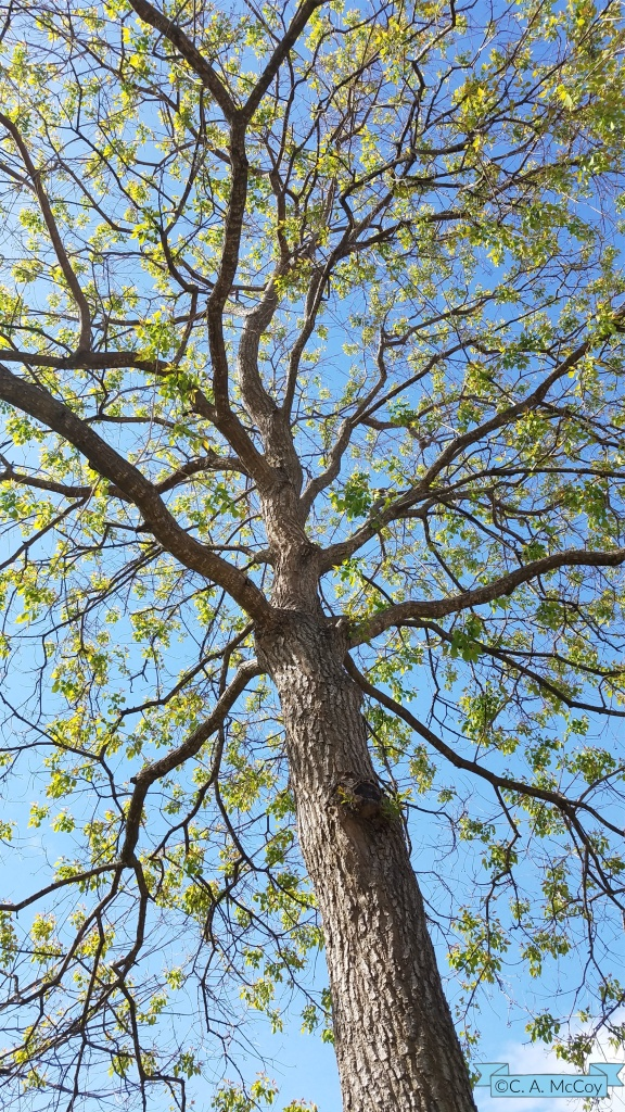 blog post Earth Day, Mary J McCoy-Dressel, looking upward at tall tree, new spring leaves, blue sky