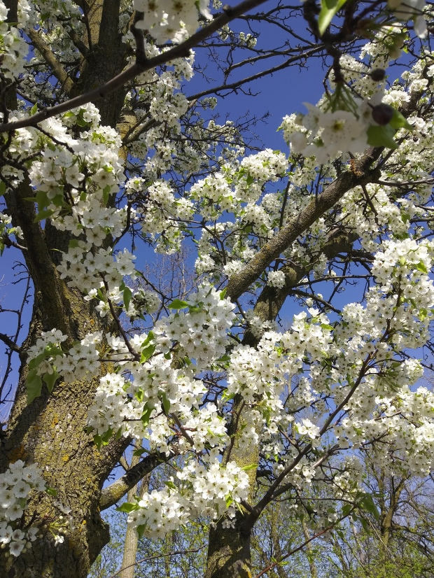 Blooming trees, Michigan, spring, blooms, tree trunk, blue sky in background, Mary J McCoy-Dressel, blog post, Wordless Wednesday May 2020